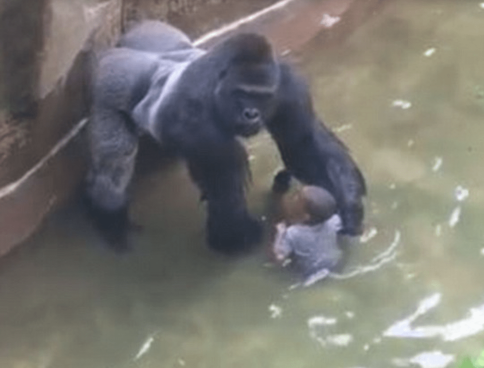 In 1996, a boy fell into a zoo enclosure then this happened...